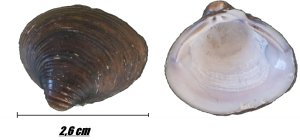 Photo of Corbicula fluminea (Asian clam) inner- and outer side of the same mussel shell