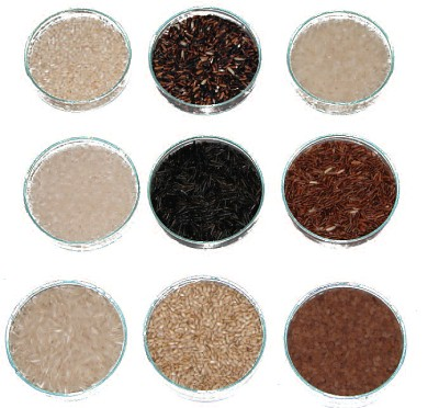 different samples of rice ready for analysis