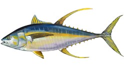 Painting of a yellowfin tuna