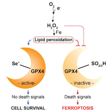 Reaction pathway showing the critical role of GPX-4 against ferroptosis due to oxidative stress