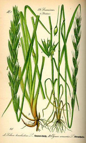 painting showing Lolium perenne (ryegrass)