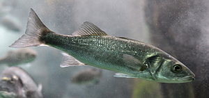 Photo of the Dicentrarchus labrax (seabass)